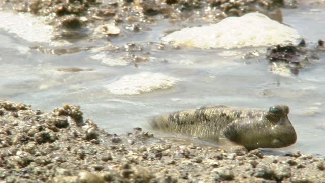 mudskipper on shore - mudskipper stock videos and b-roll footage