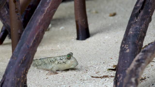 mudskipper on shoreline, high speed profile - mudskipper stock videos and b-roll footage