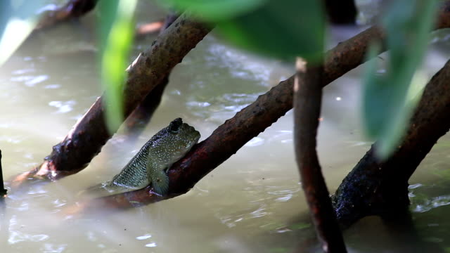 mudskipper on the muddy swamp - slippery stock videos & royalty-free footage