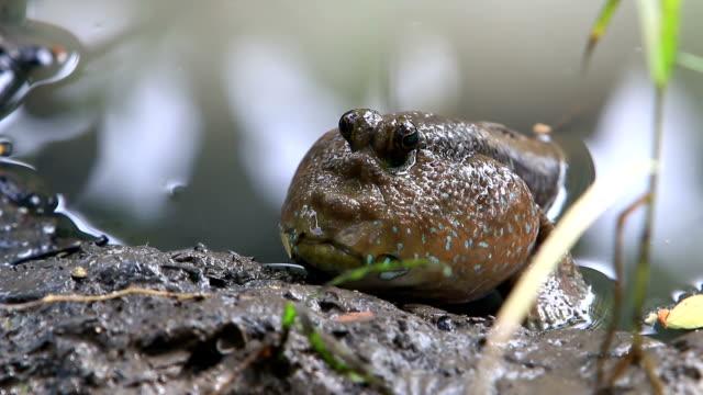mudskipper on the muddy swamp - mudskipper stock videos and b-roll footage