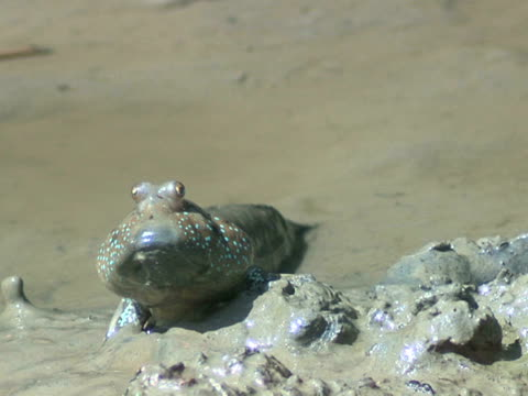 mudskipper sitting with bloated cheeks, lubuk, sabah - mudskipper stock videos and b-roll footage