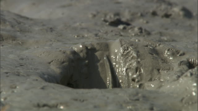 A mudskipper slides into a hole emerges and crawls across the mud. Available in HD.