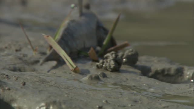 A mudskipper slides over a muddy riverbank and chases away a second mudskipper. Available in HD.