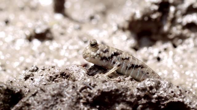 mudskipper standing still then quickly leaves frame - mudskipper stock videos and b-roll footage