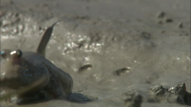 a mudskipper turns abruptly then leaps away available in hd. - mudskipper stock videos and b-roll footage