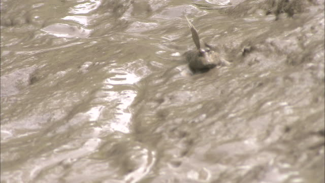 a mudskipper uses its dorsal fin to move across the mud. - dorsal fin stock videos & royalty-free footage