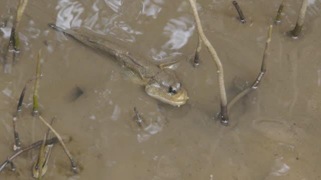 mudskipper - mud flat stock videos and b-roll footage