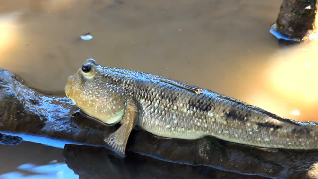 mudskipper. - pectoral muscle stock videos and b-roll footage