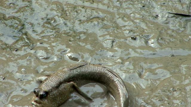 mudskipper - mudskipper stock videos and b-roll footage