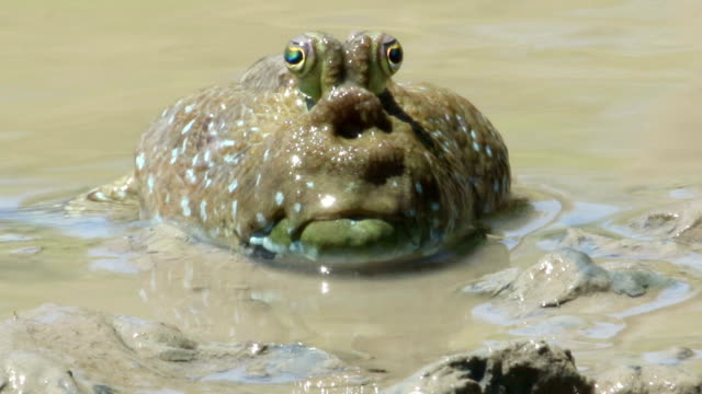 mudskipper - pectoral muscle stock videos and b-roll footage