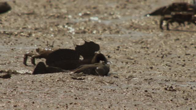 mudskippers crawling on mudflat in jeungdo island / sinan-gun, jeollanam-do, south korea - crustacean stock videos & royalty-free footage
