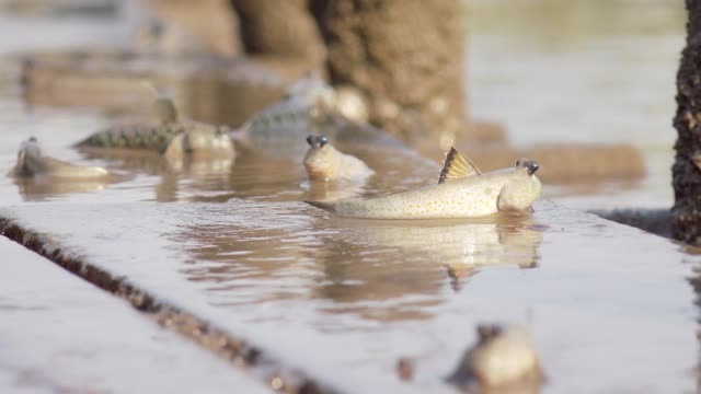 mudskippers in mangrove forest - thailand stock videos & royalty-free footage