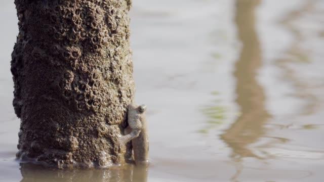 mudskippers in mangrove forest - mudskipper stock videos and b-roll footage