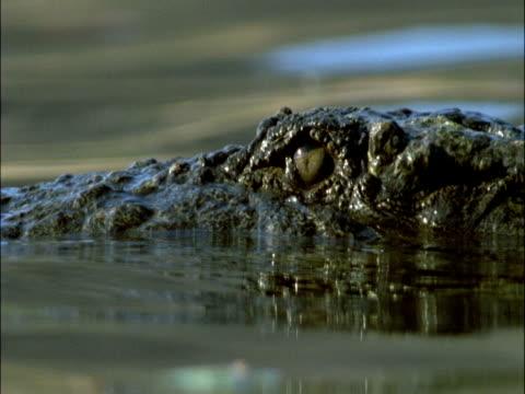 mugger crocodile (crocodylus palustris) swims in river, india - tierhaut stock-videos und b-roll-filmmaterial