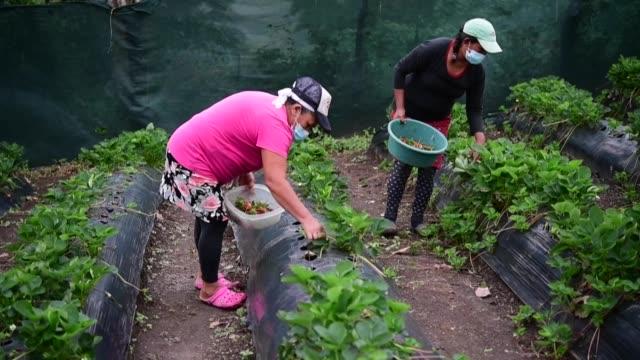 stockvideo's en b-roll-footage met mujeres cortan fresas en una cordillera de comasagua, en el centro de el salvador, en un esfuerzo colectivo por diversificar los deprimidos... - agricultura