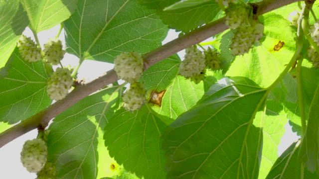 mulberry branch dangling - brambleberry stock videos & royalty-free footage
