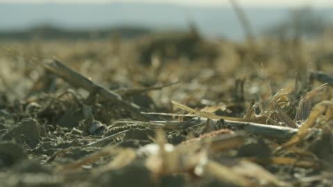 vidéos et rushes de pailler des coups de maïs doucement dans le vent dans un champ à la récolte sous un ciel ensoleillé - sol phénomène naturel