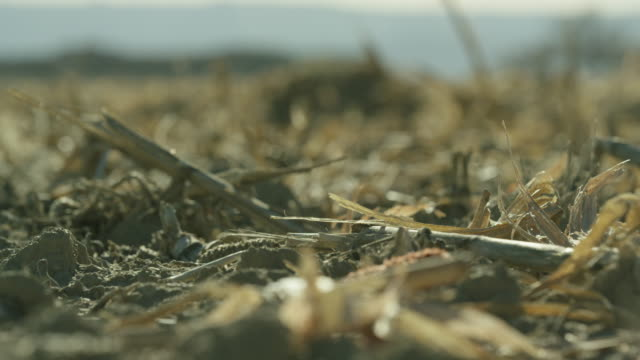 mulched up corn blows softly in the wind in a field at harvest under a sunny sky - plant stem stock videos & royalty-free footage