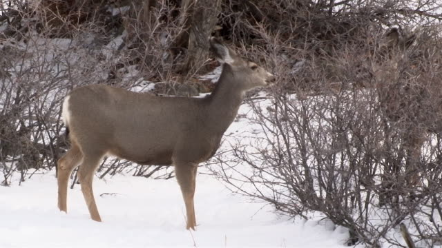 Mule Deer, browsing on shrub, Yellowstone National Park, Wyoming, in winter