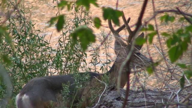 mule deer buck by stream - hoofed mammal stock videos & royalty-free footage