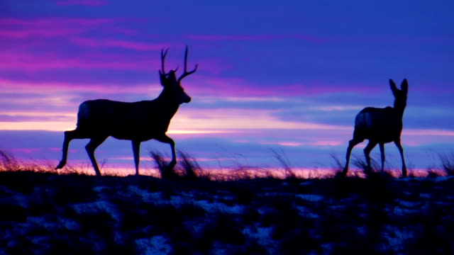 mule deer buck chasing doe at sunset - mule stock videos & royalty-free footage