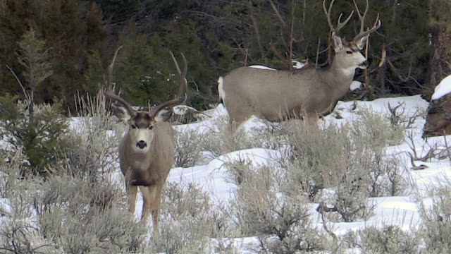 mule deer bucks, stand quietly, light snow falling, yellowstone national park, wyoming - mule stock videos & royalty-free footage