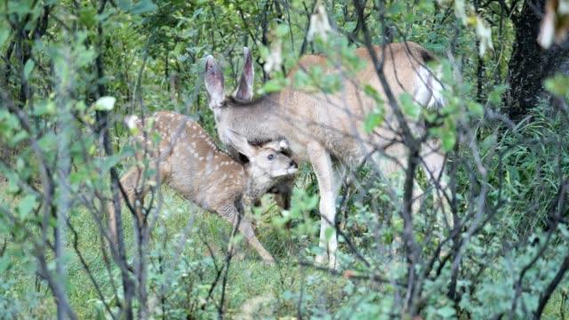 vídeos de stock, filmes e b-roll de doe dos cervos de mula e jovens corças - corça