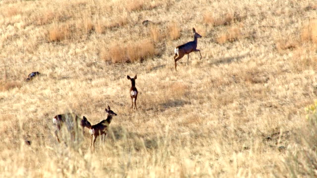 mule deer family doe and fawns western ranch oregon 4 - mule stock videos & royalty-free footage