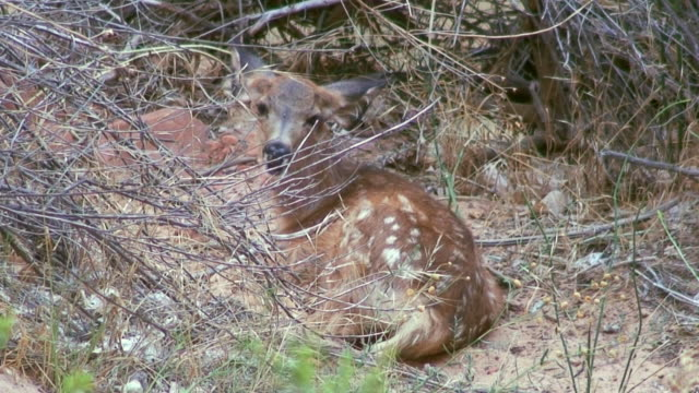 mule deer fawn chewing cud - mule stock videos & royalty-free footage