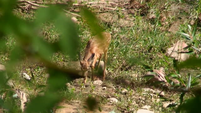 mule deer fawn grazing - mule stock videos & royalty-free footage