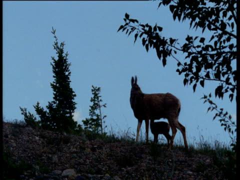 vídeos de stock, filmes e b-roll de mule deer fawn with mother at dusk, usa - vida de bebê
