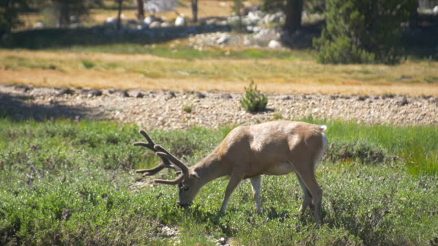 mule deer grazing in tuolumne meadows, yosemite national park - yosemite nationalpark stock-videos und b-roll-filmmaterial