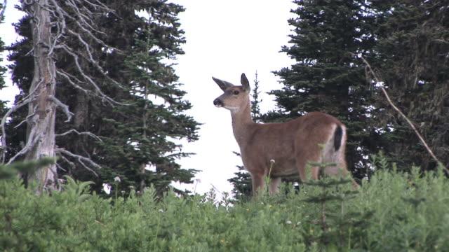 ms, la, mule deer (odocoileus hemionus) grazing on meadow, mount rainier national park, washington, usa - mt rainier national park stock videos & royalty-free footage