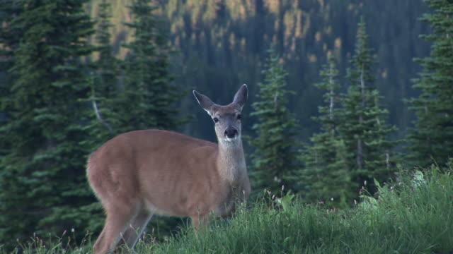 ms, mule deer (odocoileus hemionus) grazing on meadow, mount rainier national park, washington, usa - mt rainier national park stock videos & royalty-free footage