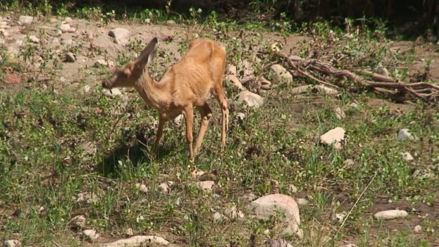 mule deer grazing part 1 - mule stock videos & royalty-free footage