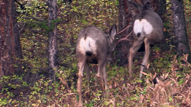 Mule Deer in forest, one male butts another,  autumn in Yellowstone National Park