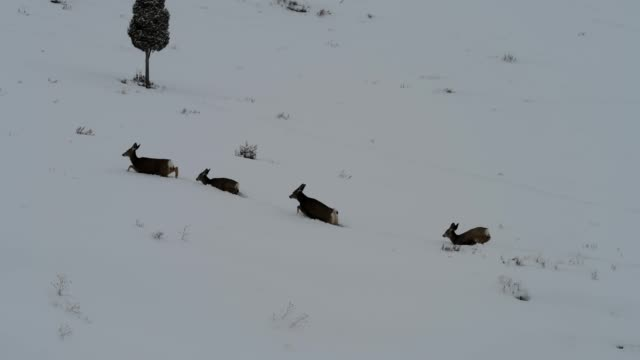 mule deer jump through snow - mule stock videos & royalty-free footage