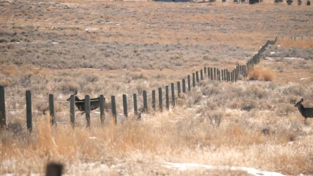 mule deer jumping fence - mule stock videos & royalty-free footage