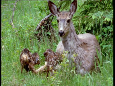 vídeos y material grabado en eventos de stock de mule deer lies on grass with two newborn fawns as they struggle to stand, canada - cervato
