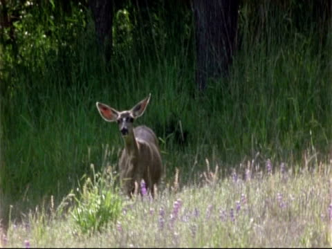mule deer (odocoileus hemionus) looking alert, ear twitching, usa - squiggle stock videos & royalty-free footage