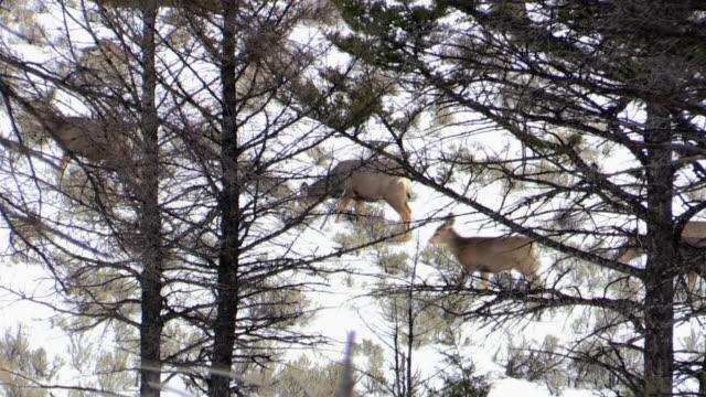 stockvideo's en b-roll-footage met mule deer, moving uphill through trees, yellowstone national park, wyoming, in winter - foerageren