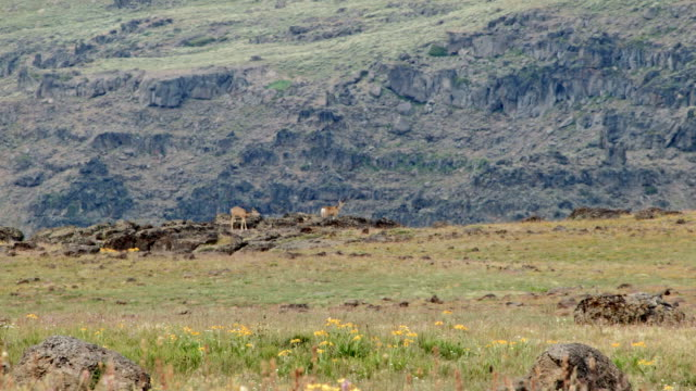 Mule deer on edge of cliff in distance Summit Steens Mountain Near Malhuer Wildlife Refuge 27