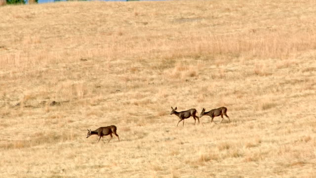 mule deer walking across field western ranch oregon 5 - mule stock videos & royalty-free footage