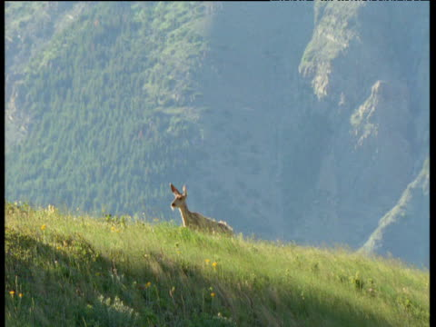 vídeos y material grabado en eventos de stock de mule deer walks over crest of hill and looks around, usa - usa