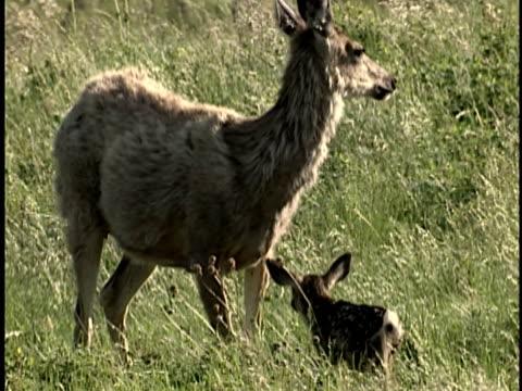 vídeos de stock e filmes b-roll de ms, mule deer (odocoileus hemionus) with new born calf in grass, alberta, canada - filhote de animal