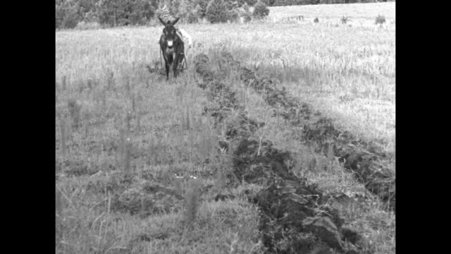 mule pulling plow through field towards camera, farmer behind plow / mule pulling plow away from camera / note: exact year not known - mule stock videos & royalty-free footage