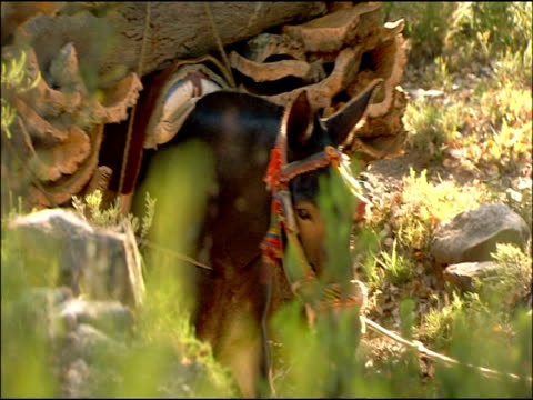 mule (equus caballus x assinus) walks with load of cork (quercus suber), andalusia, southern spain - andalusien stock-videos und b-roll-filmmaterial