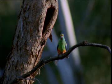 mulga parrot emerges from nest hole in tree, hattah kulkyne national park, victoria, australia - emergence stock videos & royalty-free footage