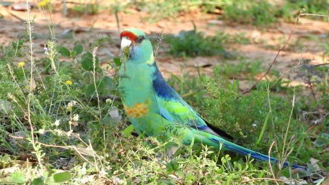 mulga parrot - parrot stock videos & royalty-free footage
