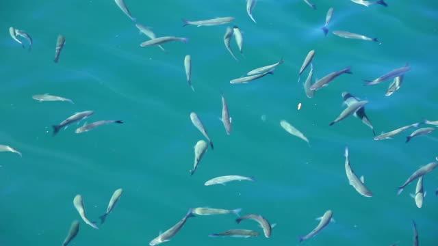 hd: mullet fish - mullet fish stock videos & royalty-free footage